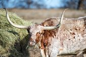 stock photo of texas-longhorn  - Texas Longhorn feeding in the pasture closeup - JPG