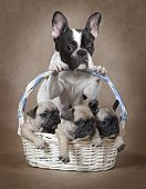 picture of pure-breed  - Pure breed French bulldog mommy with puppies in the basket - JPG