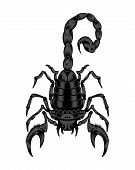 picture of scorpion  - this is an illustration of black scorpion - JPG