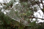 pic of cobweb  - dew drops on a cobweb in a park in germany - JPG