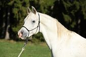 image of arabian horse  - Portrait of amazing white stallion of arabian horse