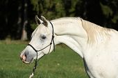 picture of arabian horse  - Portrait of amazing white stallion of arabian horse - JPG