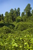picture of kudzu  - The Highly invasive Kudzu plant choking out a forest - JPG