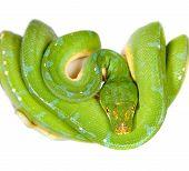 pic of pythons  - Morelia viridis - JPG