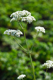 picture of heliotrope  - Valeriana officinalis Valerian herb setwall garden heliotrope vandalroot - JPG