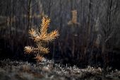 picture of ash-tree  - Small plant of pine tree after fire in forest - JPG