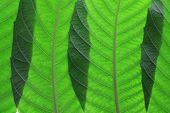image of ashes  - Close Up of Ash Tree Leaves in a Row - JPG