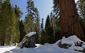 picture of sequoia-trees  - Sequoia National Park is a national park in the southern Sierra Nevada east of Visalia, California, in the United States. The park is famous for its giant sequoia trees, including the General Sherman tree, one of the largest trees on Earth. - JPG