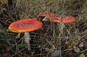 picture of dry grass  - Amanita among the dry grass in the autumn forest - JPG