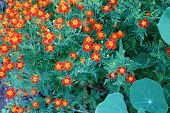 foto of marigold  - Background of a flowering marigold with foliage - JPG