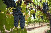 picture of vines  - Red vines Red wine orchard with ripe grapes in the sun - JPG