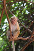 stock photo of macaque  - A macaque - JPG