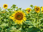 picture of sunflower  - Field of sunflowers against the sky - JPG