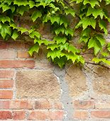 foto of ivy vine  - Old brick wall with green ivy climber background - JPG