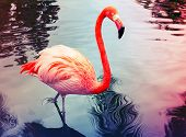 pic of pink flamingos  - Pink flamingo walks in the water with reflections stylized photo with colorful tonal correction filter instagram old style - JPG