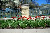 picture of illinois  - Red tulips along a walkway in Joliet - JPG