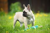 pic of french bulldog puppy  - young french bulldog puppy outdoors in summer - JPG