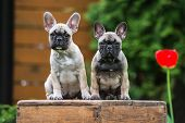picture of french bulldog puppy  - two adorable french bulldog puppies outdoors in summer - JPG