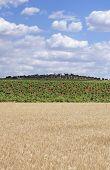 foto of tierra  - Grain fields and vines plantation at Tierra de Barros Region with its unique red soil Extremadura Spain - JPG