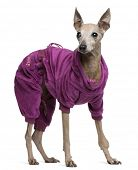 foto of 13 year old  - Italian Greyhound - JPG