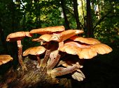 image of shroom  - honey fungus mushrooms in a dark forest on a trunk - JPG