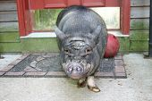 pic of pot bellied pig  - pot bellied pig at front door - JPG