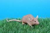 image of fancy mouse  - little fancy mouse on green grass over blue sky - JPG