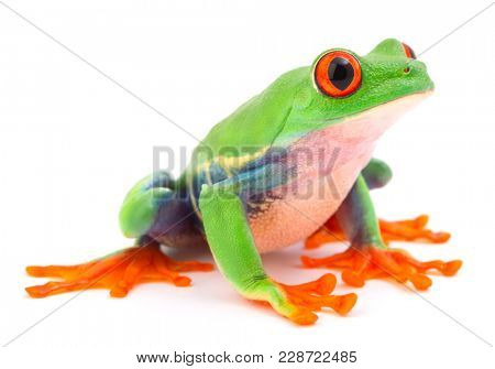 poster of Red eyed monkey tree frog, a tropical animal from the rain forest in Costa Rica isolated on white ba