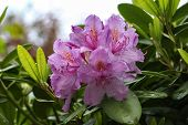 Rhododendrons / The Rhododendrons Are A Genus Of The Family Ericaceae poster