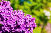 Lilac Flowers, Spring Floral Background With Spring Lilac Flowers In Spring Blossom. Selective Focus poster