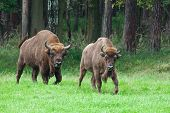 picture of aurochs  - two european bisons leaving the woods looking to the camera - JPG