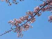 stock photo of cherry blossom  - Branch of Japanese cherry blossom or sakura on a clear blue sky background - JPG