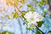Spring Flowers Of Blooming Apple Tree. Natural Spring Flower Landscape. Spring Flowers Of Blooming S poster