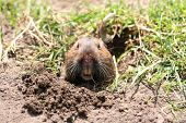 stock photo of gopher  - A gopher popping his head out in Golden Gate Park - JPG