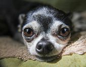 close up macro of a cute chihuahua resting his head on a pet bed in natural light toned with a retro poster