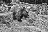 Adult Brown Bear In Natural Environment. Animal Rights. Friendly Brown Bear Walking In Zoo. Cute Big poster