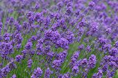 picture of land-mass  - mass of purple lavender flowers in a farm land - JPG