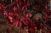 Red Leaves Of Wild Grapes. Colorful Autumn, Bright Wild Grape Background. Abstract Purple, Red, Gree poster