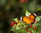 Captive Malay Lacewing Shown With Red Flowers poster