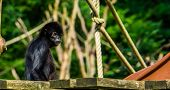Beautiful Portrait Of A Black Headed Spider Monkey, Critically Endangered Animal Specie From South A poster