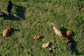 Aerial Drone Top Down View On Cows Herd With Cattle Resting On Green Meadow Close To The River. Milk poster