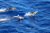 Dolphins Swimming And Jumping In The Ocean. Common Dolphin Delphinus Delphis In Natural Habitat. Mar poster