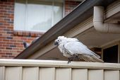 Sulphur-crested Cockatoo Suffering From Psittacine Beak And Feather Disease - Pbfd. Urban Wildlife. poster