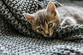 Gray Striped Kitty Sleeps On Knitted Woolen Gray Plaid. Little Cute Fluffy Cat. Cozy Home poster