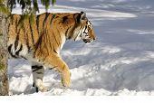 Постер, плакат: Амурский тигр в зимний период