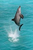 picture of bottlenose dolphin  - A bottlenose dolphin leaping out of the blue water in joy - JPG
