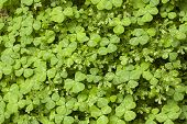 foto of irish moss  - A carpet of clovers and moss growing in a forest - JPG