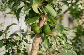 stock photo of avocado tree  - an avocado tree on a park in Thailand - JPG