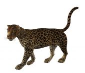 pic of ocelot  - Jaguar walking pose on a white background - JPG