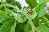 image of potato bug  - Colorado potato beetle on a green leaves - JPG